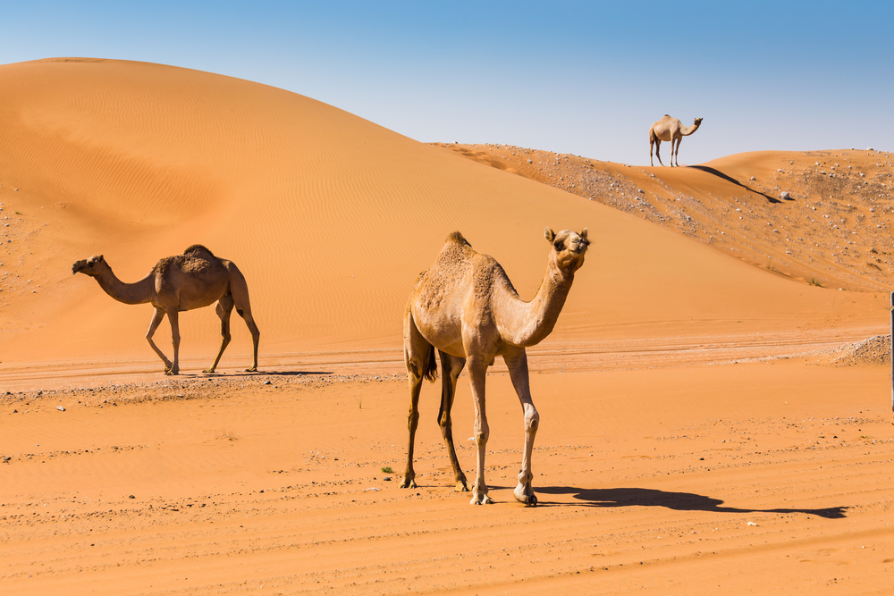 How To Train Your Camel - Unroped camels