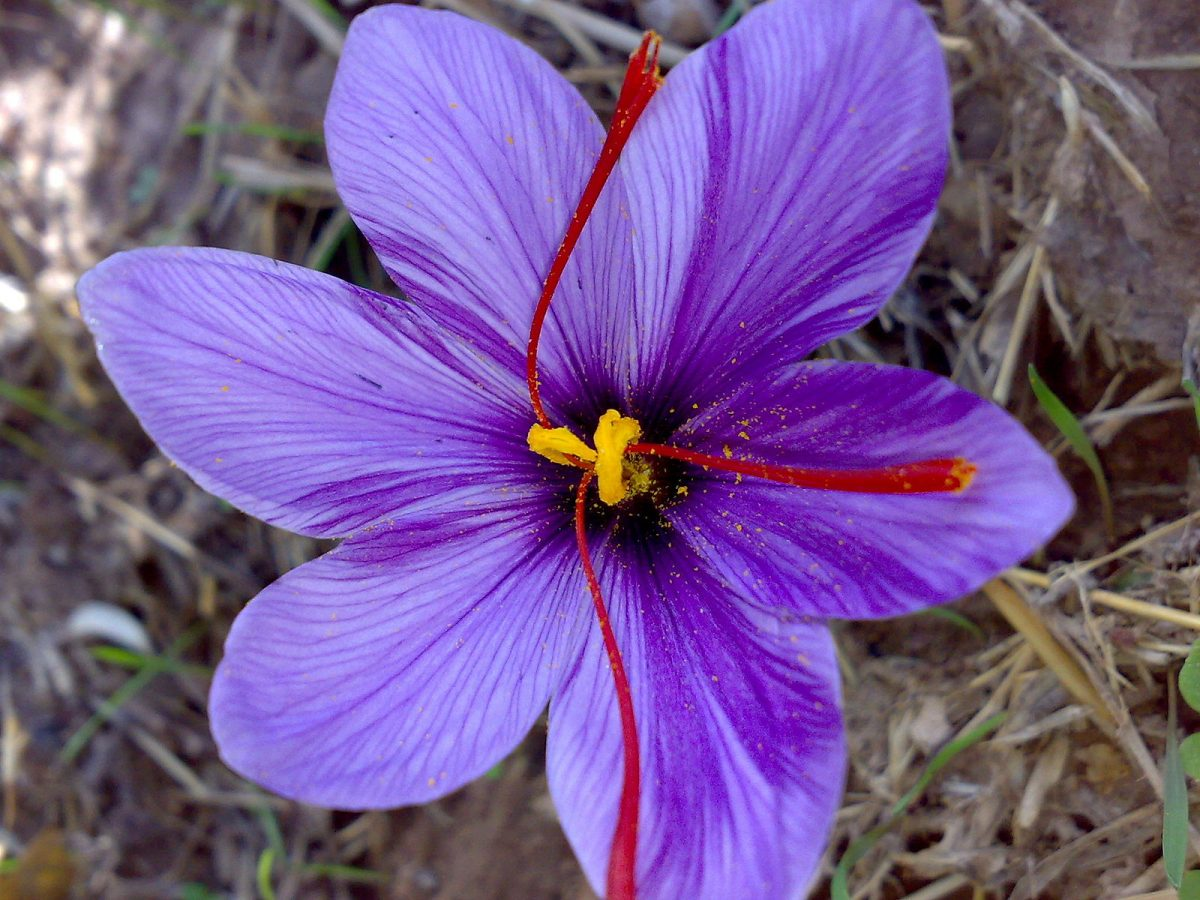 Saffron flower pic by Serpico under Creative Commons Attribution